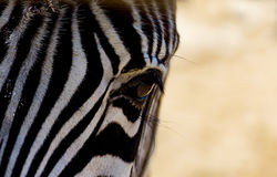 Zebra close up to the camera stock photo