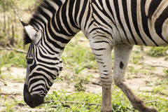 Zebra close up trotting Royalty Free Stock Photo