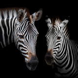 Zebra. Close-up Two zebras with a black background stock photo