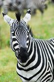 Close up of the head of a zebra stock image
