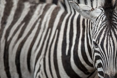 Zebra - close-up view with accent on the unique skin pattern Royalty Free Stock Photos