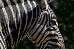 African Zebra Face Royalty Free Stock Images