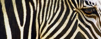 Zebra closeup Royalty Free Stock Photo