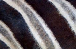 Zebra closeup background Royalty Free Stock Photography