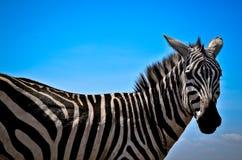 Zebra. Closeup with blue sky Stock Photography