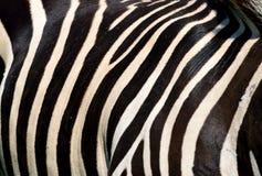 Zebra closeup  Stock Images