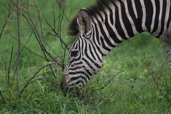 Zebra closeup grazing and listning Royalty Free Stock Photos