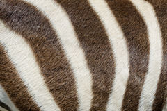 Zebra closeup. Live zebra skin closeup background Royalty Free Stock Images