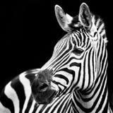Zebra Closeup Royalty Free Stock Photos