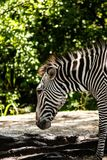 Zebra Closeup Side View on Sunny Day royalty free stock photography