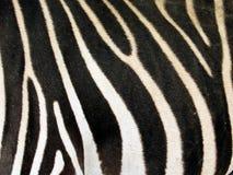 Zebra coat. A zebra coat closed Royalty Free Stock Images