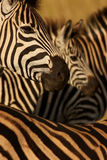 Zebra Collage Royalty Free Stock Images