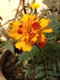 Zebra colored marigold stock images