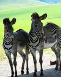 Zebra with colt. Zebra colt with mother royalty free stock photos