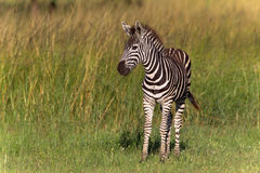 Zebra Calf Colt. In the long green grass at Phinda wildlife animal game park reserve with its mother nearby Royalty Free Stock Photography