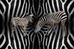 Zebra com bebê Imagem de Stock Royalty Free