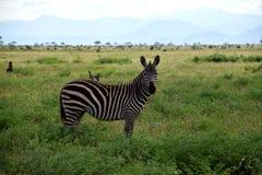 A zebra com dois pássaros suporta sobre no savana, África, Kenya Imagem de Stock Royalty Free