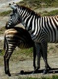 Zebra con i giovani Fotografia Stock