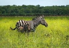 Zebra con il bambino sui precedenti variopinti fotografie stock