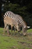 Zebra con il cibo del foal Immagini Stock
