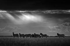 Zebra con il cielo scuro della tempesta Zebra del ` s di Burchell, burchellii della quagga di equus, Nxai Pan National Park, Bots fotografia stock