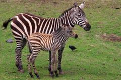 Zebra con il foal Immagini Stock