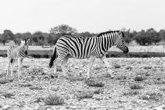 Zebra con il puledro, parco nazionale di Etosha Fotografia Stock Libera da Diritti