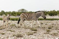 Zebra con il puledro, parco nazionale di Etosha Immagini Stock