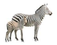 Zebra con il ritaglio del foal Fotografia Stock