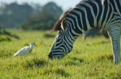 Zebra con l'egretta Sudafrica Fotografia Stock