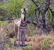 Zebra con l'espressione beffarda Fotografie Stock Libere da Diritti