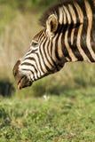 Zebra con la lingua fuori Immagine Stock