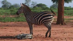 Zebra con un bambino video d archivio