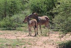 Zebra con un giovanotto Immagine Stock