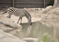 Zebra drinking water with reflection in the water at zoo in Omaha Nebraska. Zebra cooling off with a drink of water as his profile reflects in the water at the Royalty Free Stock Photography