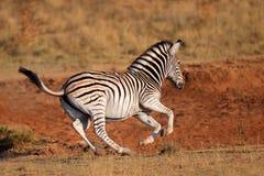 Zebra corrente delle pianure Fotografia Stock