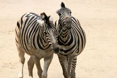 Zebra couple. A zebra couple running and having fun stock photo