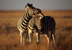 Zebra couple Royalty Free Stock Photo