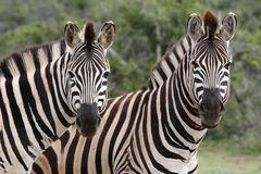 Zebra Couple Stock Images