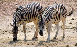 Zebra couple. Looking at camera Stock Photos