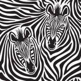 Zebra Couple Stock Photo
