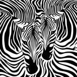 Zebra Couple background. Royalty Free Stock Photo