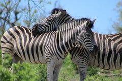 Zebra couple Royalty Free Stock Photography