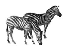 Zebra couple cutout. Couple of zebras on white with clipping path Stock Photos