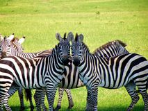 Zebra couple Royalty Free Stock Photography