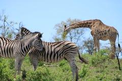 Zebra couple and Giraffe Stock Images