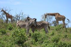 Zebra couple and Giraffe Royalty Free Stock Photo