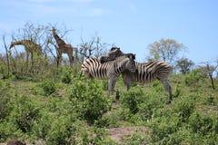 Zebra couple and Giraffe pair Royalty Free Stock Image