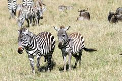 A zebra couple in the herd Stock Photography