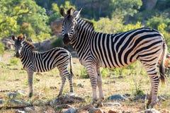 Zebra Couple Royalty Free Stock Image
